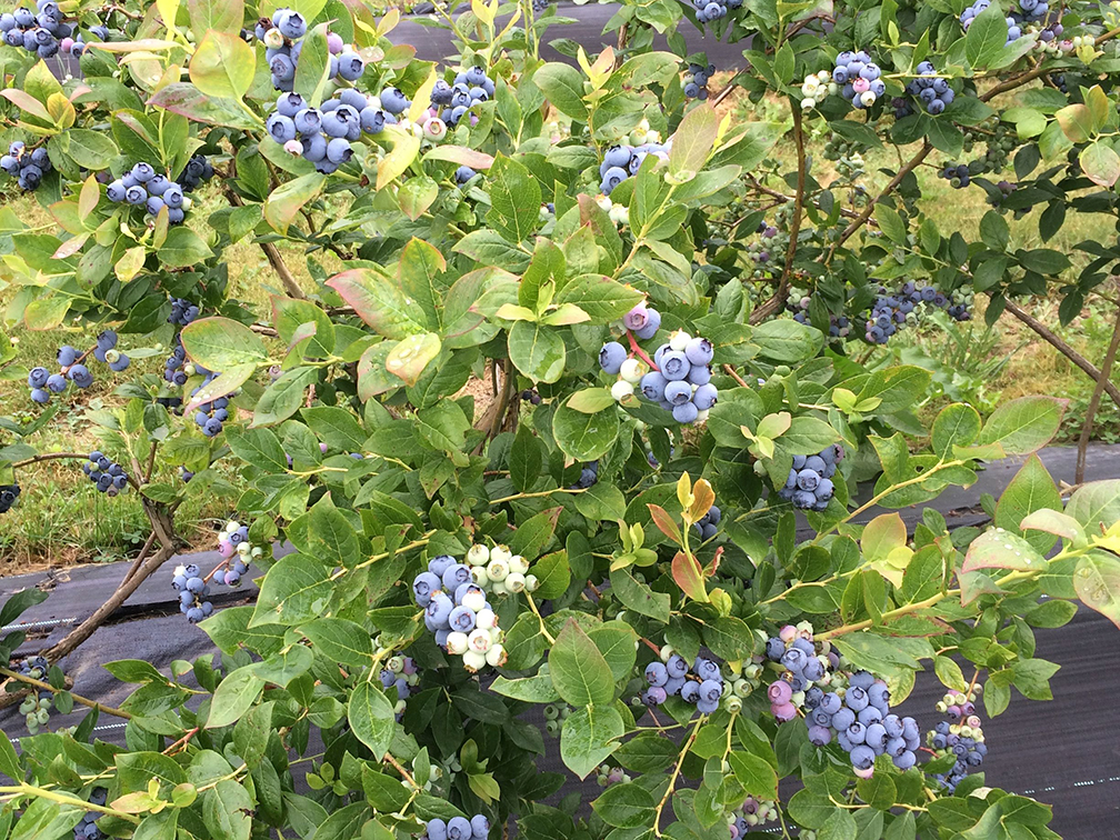 Gingerich Blueberries